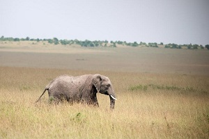 elephant roaming african plains